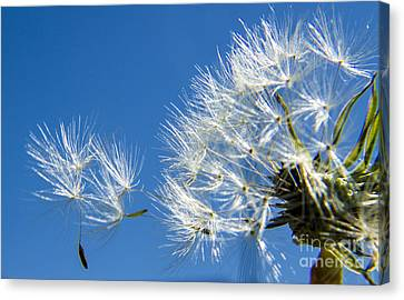 About To Leave - Dandelion Seeds Canvas Print by Darleen Stry
