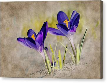 Abstract Crocus Background Canvas Print