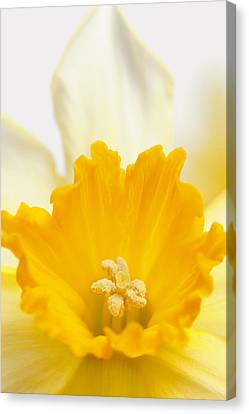 Abstract Daffodil Canvas Print