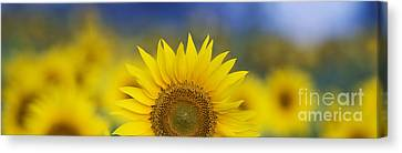 Asteraceae Canvas Print - Abstract Sunflower Panoramic  by Tim Gainey