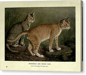 Abyssinian And Indian Cats Canvas Print by Philip Ralley