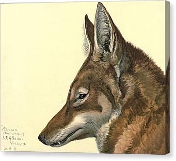 Abyssinian Wolf Canvas Print by Rob Dreyer