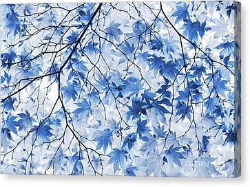 Acer Blue Canvas Print