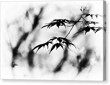 Acer Burgundy Lace Monochrome Canvas Print by Tim Gainey