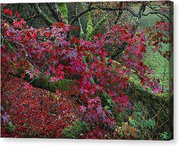 Acer Chatsworth Gardens Canvas Print by Jerry Daniel