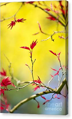 Acer Colour Canvas Print by Tim Gainey