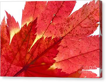 Acer From Beneath Canvas Print by Anne Gilbert