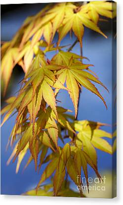 Acer Palmatum Katsura Leaves Canvas Print by Tim Gainey