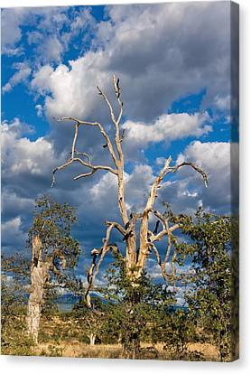 Kathleen Canvas Print - Acorn Tree by Kathleen Bishop