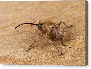Beetle Canvas Print - Acorn Weevil Curculio Venosus by Nigel Downer
