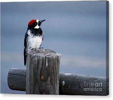 Canvas Print featuring the photograph Acorn Woodpecker by Gary Brandes