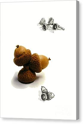 Acorns  Canvas Print by Adam Long