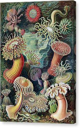 Actiniae Sea Anemones Canvas Print by Library Of Congress