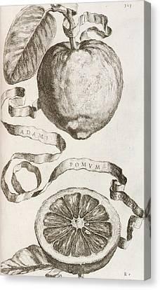 Apple Canvas Print - Adam's Apple by Cornelis Bloemaert