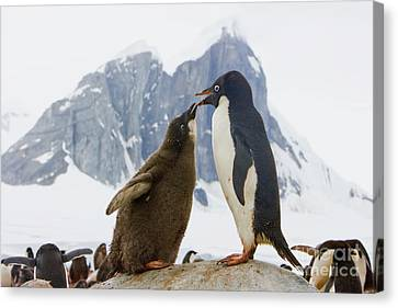 Adelie Penguin Chick Begging For Food Canvas Print by Yva Momatiuk John Eastcott