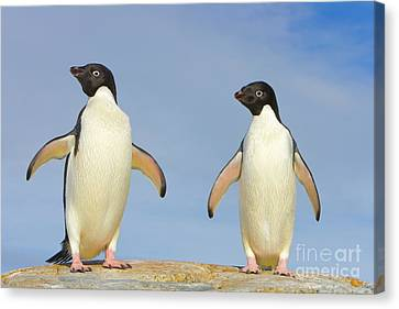 Adelie Penguin Duo Canvas Print by Yva Momatiuk John Eastcott