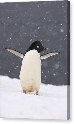Adelie Penguin In Snowstorm Canvas Print