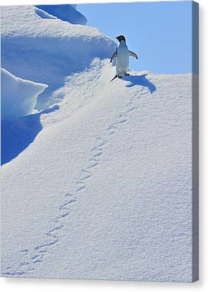 Adelie Penguin On Bergie Bit Canvas Print by Tony Beck