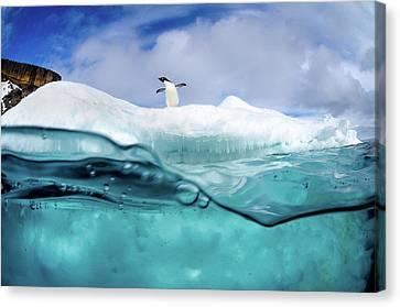 Adelie Penguin On Iceberg Canvas Print by Justin Hofman