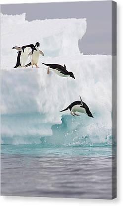 Adelie Penguins Diving Off Iceberg Canvas Print by Suzi Eszterhas