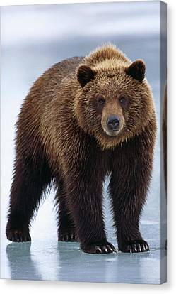 Adolescent Brown Bear Standing Canvas Print by Doug Lindstrand