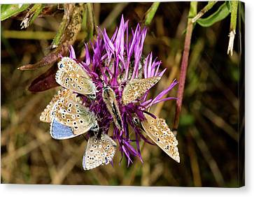 Adonis Blue Butterflies On Knapweed Canvas Print by Bob Gibbons