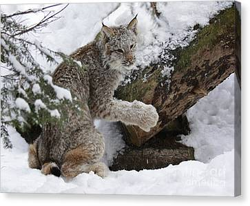 Adorable Baby Lynx In A Snowy Forest Canvas Print by Inspired Nature Photography Fine Art Photography