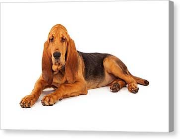 Adorable Large Bloodhound Puppy Canvas Print by Susan Schmitz