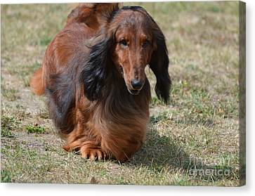 Adorable Long Haired Daschund Dog Canvas Print by DejaVu Designs