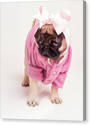 Adorable Pug Puppy In Pink Bow And Sweater Canvas Print by Edward Fielding