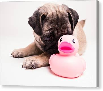 Adorable Pug Puppy With Pink Rubber Ducky Canvas Print by Edward Fielding
