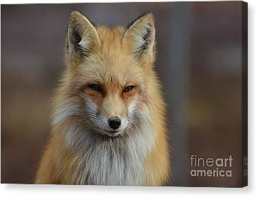 Adorable Red Fox Canvas Print