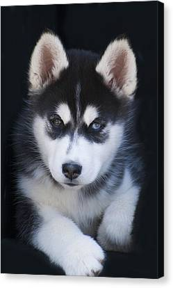 Adorable Siberian Husky Sled Dog Puppy Canvas Print by Kathy Clark