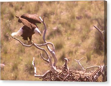 Adult Eagle With Eaglet  Canvas Print by Jeff Swan