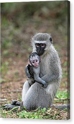 Adult Female Vervet Monkey With Young Canvas Print by Tony Camacho
