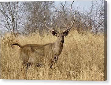 Adult Male, Sambar Deer, Ranthambore Canvas Print by Adam Jones