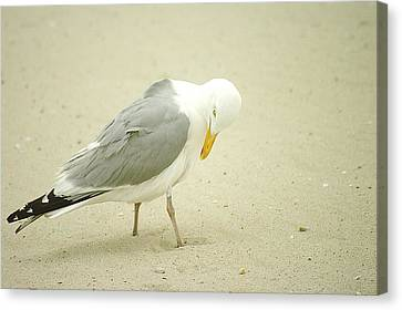 Canvas Print featuring the photograph Adult Seagull Preening by Suzanne Powers