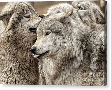 Canvas Print featuring the photograph Adult Timber Wolf by Wolves Only