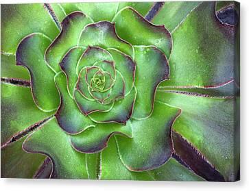 Aeonium Arboreum 'voodoo' Leaves Abstract Canvas Print by Nigel Downer