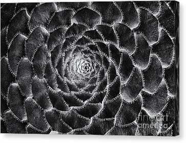 Aeonium Monochrome Canvas Print by Tim Gainey