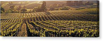 Aerial View Of Rows Crop In A Vineyard Canvas Print by Panoramic Images
