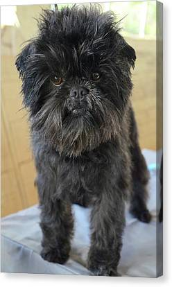 Affenpinscher Canvas Print