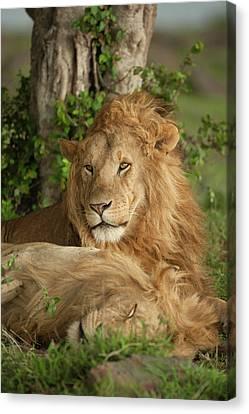 Africa, Kenya, Masai Mara Game Reserve Canvas Print
