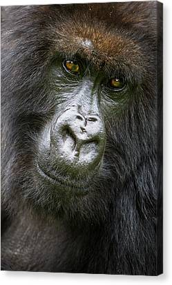 Africa Rwanda Female Mountain Gorilla Canvas Print by Ralph H. Bendjebar