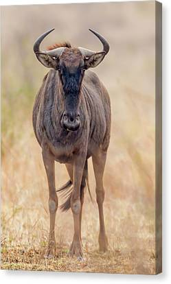 Gnu Canvas Print - Africa, South Africa, Londolozi Private by Jaynes Gallery