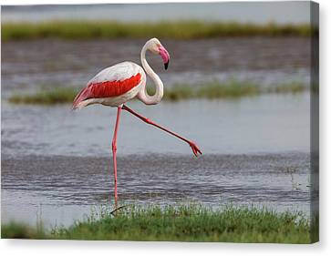 Africa Tanzania Greater Flamingo Canvas Print