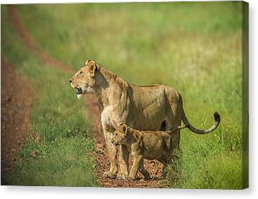 Africa, Tanzania, Lioness With Cub Canvas Print