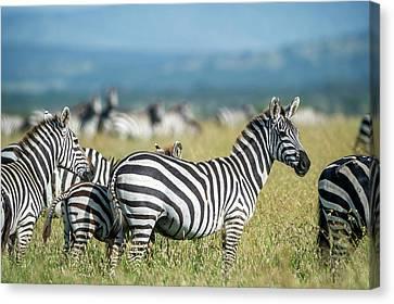 Africa, Tanzania, Zebras Canvas Print