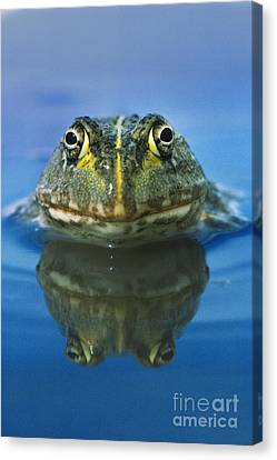 African Bullfrog Canvas Print by Frans Lanting MINT Images