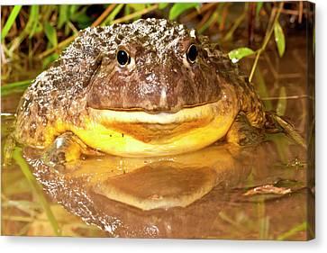 African Burrowing Bullfrog Canvas Print